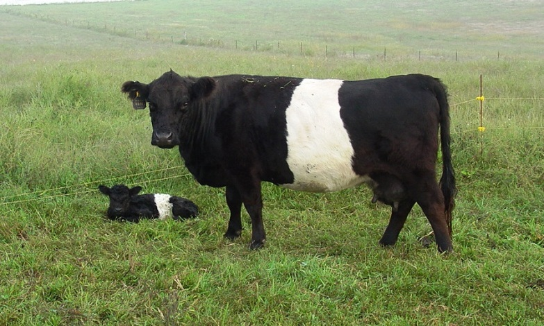 Belted Galloway Cattle Belted galloway bliss christy